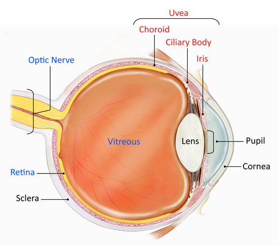 Eye diagram showing the uvea, optic nerve, retina, sclera, cornea and pupil.