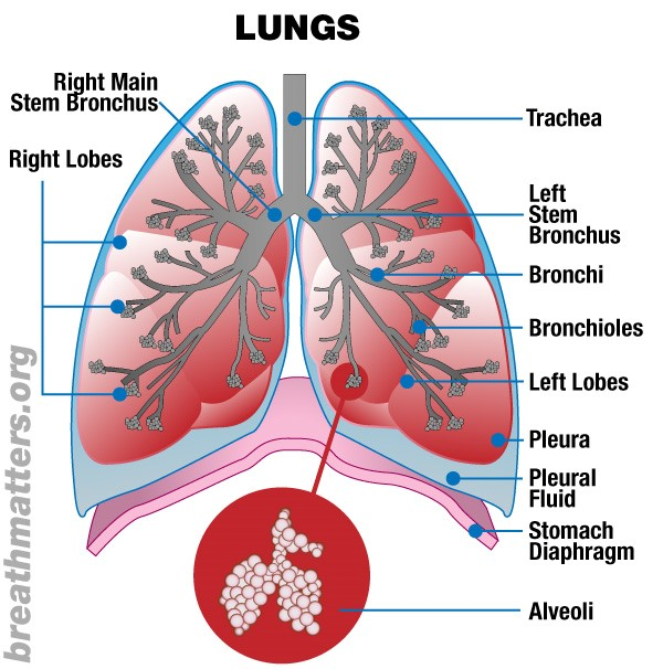 Image 1 Lungs and Alvoli
