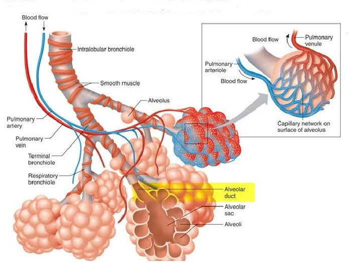 Image 1 Picture of Alveoli